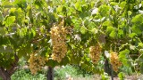 Elqui Valley Vineyard